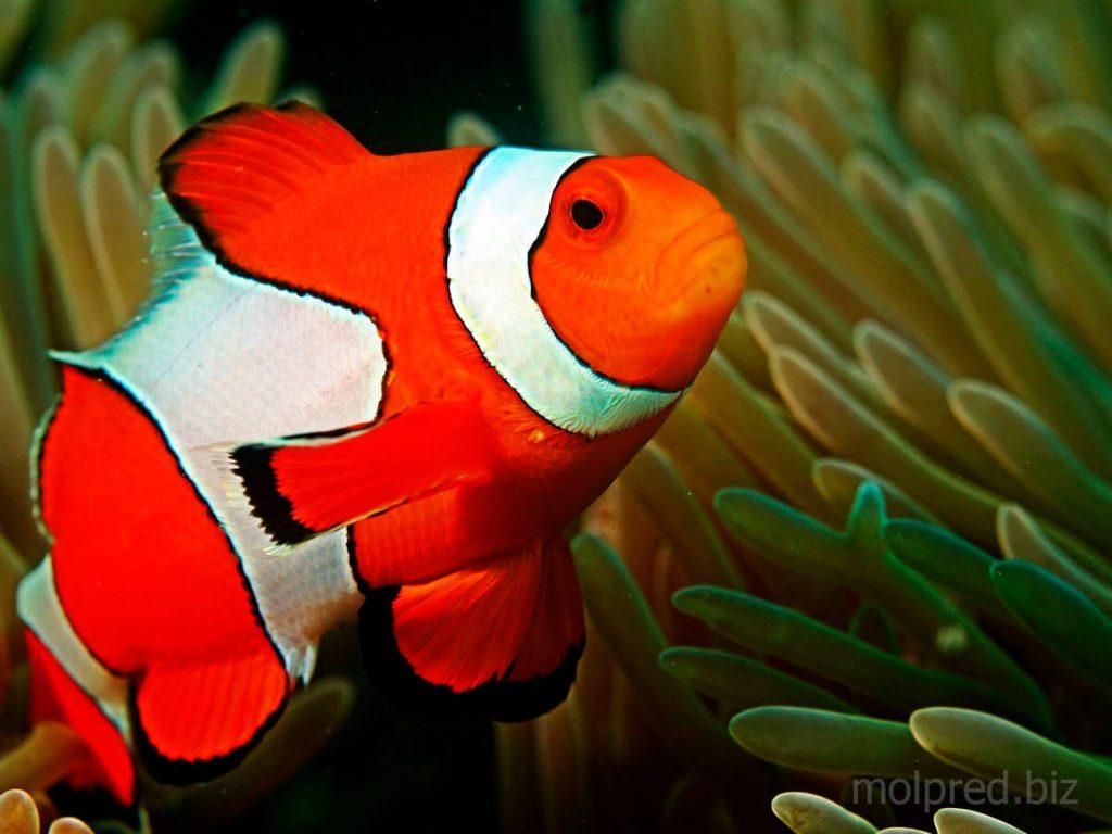 ปลานีโม